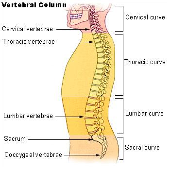Illu_vertebral_column